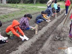 ④ こどもたちが種ジャガイモを植える.