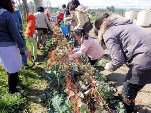 ⑤ ブロッコリー収穫